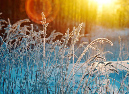 winter flower: Winter scene .Frozenned flower .pine forest and sunset Stock Photo