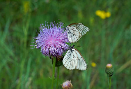 Black-veined whites butterfly -Aporia crataegi near lake Baikal,  Russia Stock Photo