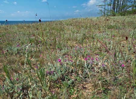 mosses: Mosses and pine of Sandy shore of Lake Baikal,Turka village