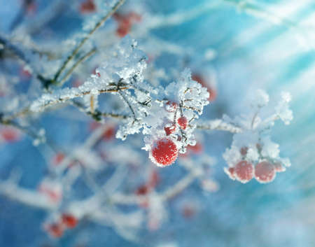 frost winter: Red berries of viburnum with hoarfrost on the branches . closeup