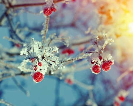 분기에 늦었다와 가막살 나무속의 빨간 열매입니다. 닫다