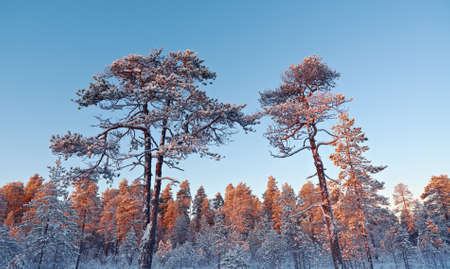 Winter snowy forest at sunset. Beautiful Christmas landscape Stock Photo