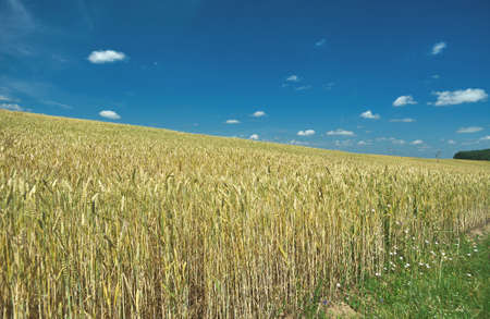 Field with Common wheat. Belarus landscape blue cloudy sky. Stock Photo