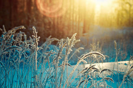 fro: Winter scene. Fro-zenned flower. Pine forest and sunset