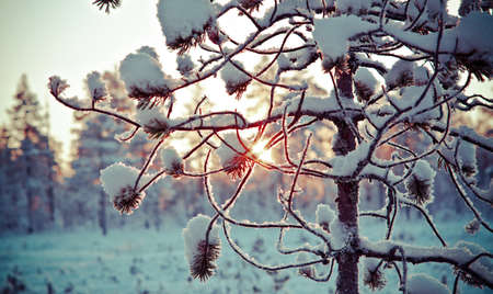 snowdrifts: Winter snowy forest at sunset. Beautiful Christmas landscape.Shallow depth-of-field.