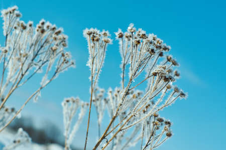 Crystal snow-flowers against the blue sky. Winter wonder of nature crystals of frost.Winter scene landscape