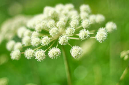 Angelica plan. Close-up . Shallow depth of field Imagens - 107007495