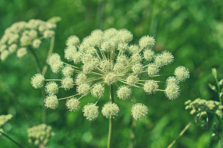 Angelica plan. Close-up . Shallow depth of field