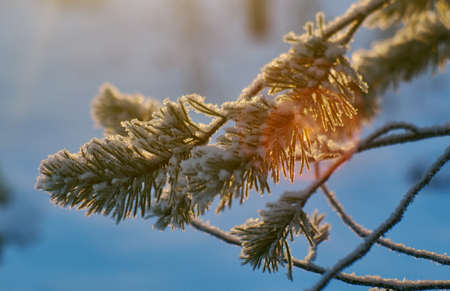 Pine snow branch, winter landscape with the pine forest and sunset, Shallow depth-of-field 写真素材 - 114976571