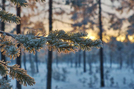 Pine snow branch, winter landscape with the pine forest and sunset, Shallow depth-of-field Foto de archivo - 114976583