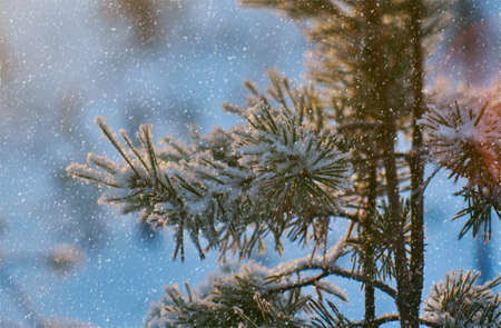 Pine snow branch, winter landscape with the pine forest and sunset, Shallow depth-of-field