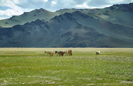 Mongolian Altai. Scenic valley on the background of the snowcapped mountains.Herd graze in the camp