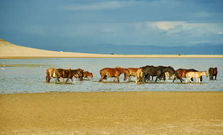 Sands Mongol Els, Herd of animals grazed on the grass Stockfoto