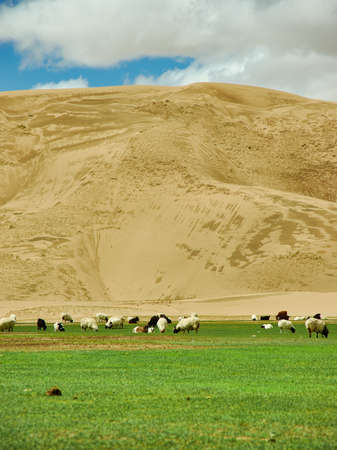 Sands Mongol Els, Herd of animals grazed on the grass Stok Fotoğraf