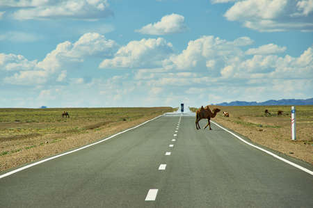Camels cross the highway, Bactrian or two-humped camel Gobi desert, Mongolia