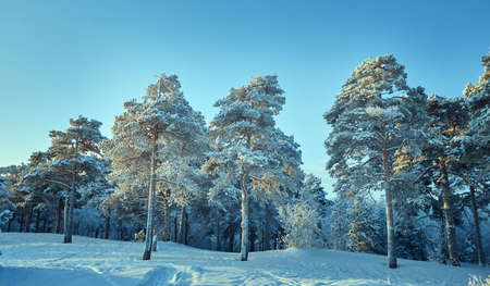 Beautiful Christmas landscapeб winter landscape with the pine forest seaside dunes Stok Fotoğraf