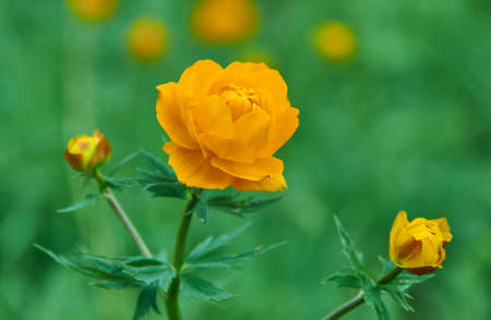 Trollius altaicus is an ornamental plant of the family Ranunculaceae, which is native of Asia and Europe Stock fotó