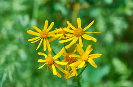 Ligularia sibirica, mostly in central and eastern Asia. 스톡 콘텐츠