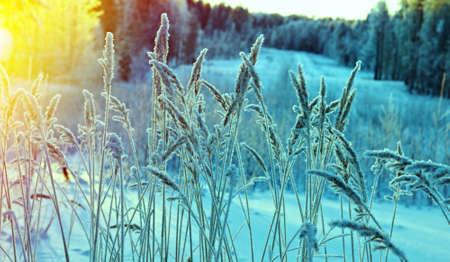 Escena de invierno. Flor congelada. Bosque de pinos y puesta de sol Foto de archivo