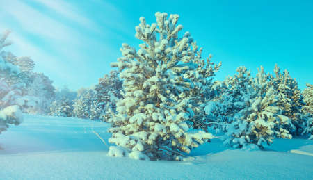 Beautiful Christmas landscapeб winter landscape with the pine forest seaside dunes Stock Photo