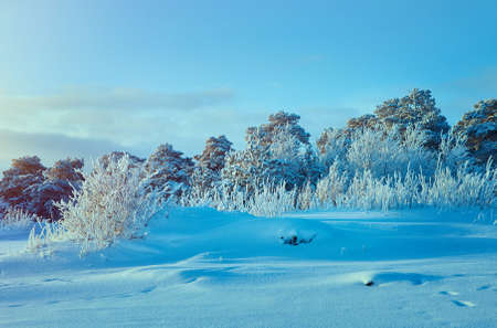 Beautiful Christmas landscape,  winter forest with the pine forest seaside dunes