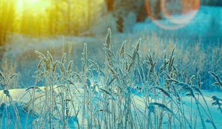 Winters tafereel. Bevroren bloem. dennenbos en zonsondergang
