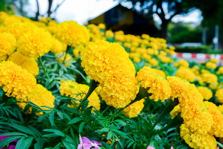 asian house plants: Marigolds ,selective focus with blur background and bokeh