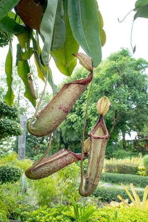 pitcher: Tropical pitcher plants, selective focused