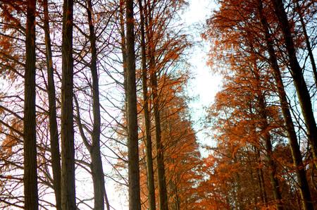 metasequoia: Winter of Metasequoia glyptostroboides