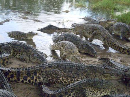 crowd tail: A crowd of wild crocodiles