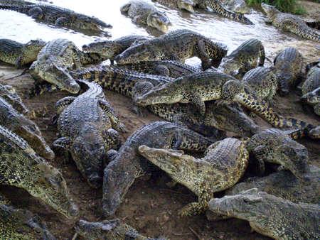 croud: a croud of crocodiles