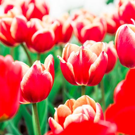 in bloom: Tulips in full bloom