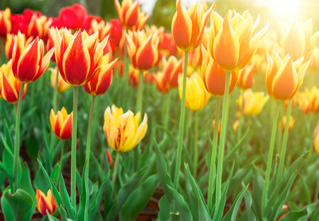 red tulip: Spring garden full of tulips in a variety of colors Stock Photo