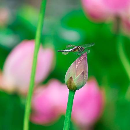 landed: Dragonfly landed on lotus bud break