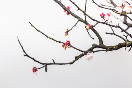 Plum flower photo