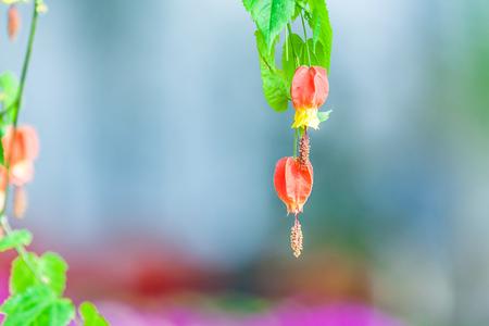 ptosis: Open vertically downward lantern flower