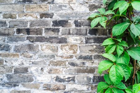 Green ivy wall on old vintage brick wall