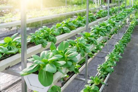 養液栽培の野菜畑で新鮮な有機野菜。