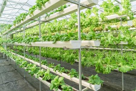 Fresh organic vegetable in hydroponic vegetable field.
