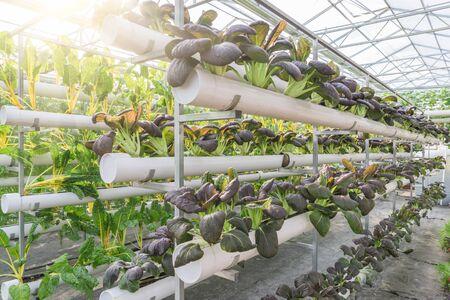 spring green: Fresh organic vegetable in hydroponic vegetable field.