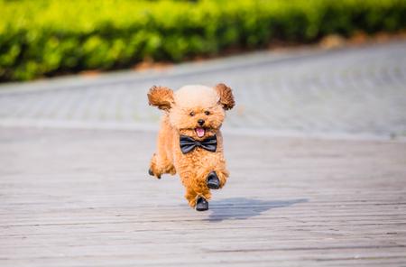 トイプードルは、中国の都市で公園で遊ぶ。 写真素材