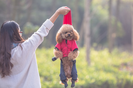 Toy Poodle playing with its female master in a park. Stock Photo