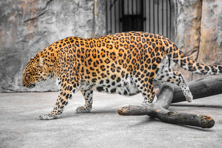 spotted fur: Close-Up Of Leopard In Zoo. Stock Photo