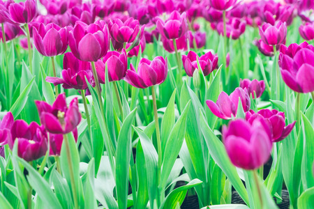 cultivate: Colorful Tulips,Garden flowers in Shanghai,China.