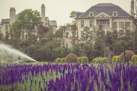 fragrant: Lavender field in bloom,view of formal garden.