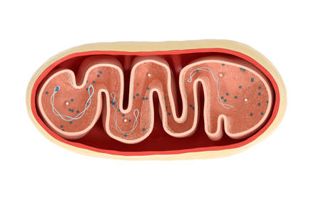 Cross-section view of Mitochondria. Medical info graphics on white background, 3d rendering. Computer digital drawing.