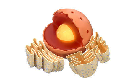 Structure of nuclear and endoplasmic reticulum in an animal cell, 3d rendering. Section view. Computer digital drawing. Reklamní fotografie
