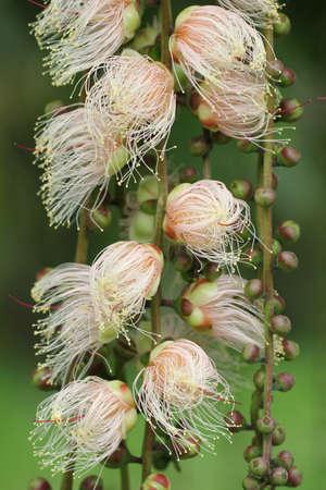 barringtonia: flower