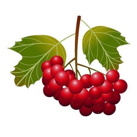 Berry viburnum. Bunch of viburnum with green leaves Illustration