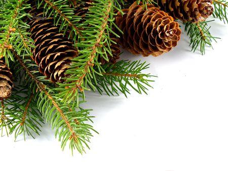 fir cone on the branch Фото со стока